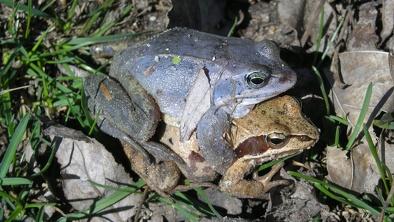 Żaby moczarowe