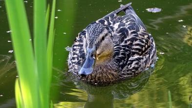 Kaczka krzyżówka - samica
