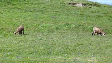 Kozica tatrzańska