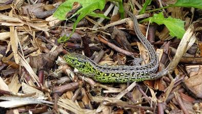 Jaszczurka zwinka (samiec)